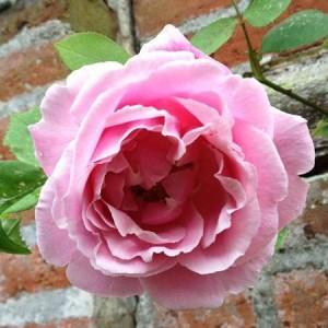 le-rosier-de-la-maison_1__1_1